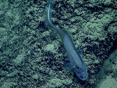 Cusk eels, like this Leucicoris, are another incredibly diverse and common family of deep-sea fishes that have long, tapering, eel-like tails.