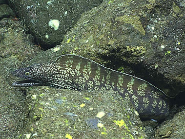 Shallower living moray eels like this one seen at a depth of 279 meters on Dive 6 at Supply Reef on June 23, 2016, are nocturnal and/or live in holes and crevices to avoid predators.
