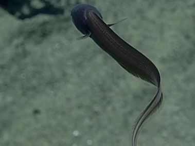 This cusk eek is a great demonstration of a slow anguilliform swimming in a deep-sea fish.