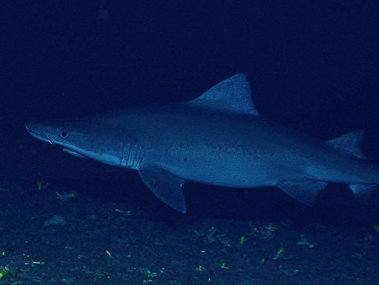 Smalltooth sandtiger shark (Odontaspis ferox), believed to be pregnant, seen on Leg 3 of the 2016 Deepwater Exploration of the Marianas expedition.