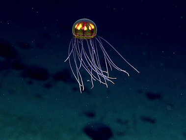 "This stunningly beautiful jellyfish was seen during Dive 4 in the Marianas Trench Marine National Monument on April 24, 2016, while exploring the informally named ""Enigma Seamount"" at a depth of ~3,700 meters. Scientists identified this hydromedusa as belonging to the genus Crossota. Note the two sets of tentacles — short and long. At the beginning of the video, you'll see that the long tentacles are even and extended outward and the bell is motionless. This suggests an ambush predation mode. Within the bell, the radial canals in red are connecting points for what looks like the gonads in bright yellow."