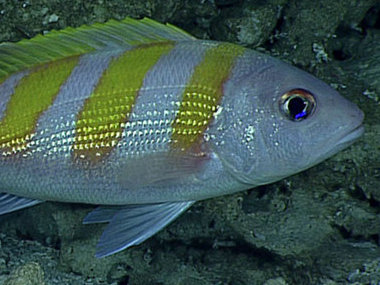 The oblique-banded snapper or gindai (Pristipomoides zonatus) lives in the twilight, or mesophotic, zone where only dim blue light penetrates.