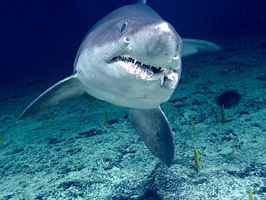 [image] Sand Tiger Shark
