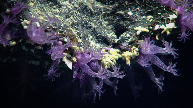 These bright purple octocorals from Dive 04 grow like ribbons upon the rock as opposed to branching colonies.