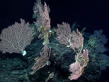 Several large deepwater corals grow in a high-density community.