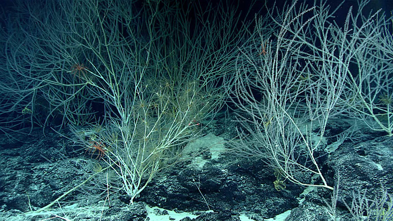 Large bamboo coral colonies found on ridge topography.