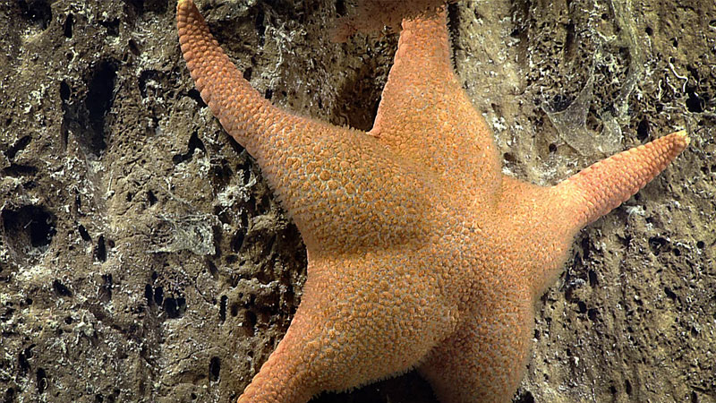 A rare observation of the sea star Gilbertaster anacanthus.
