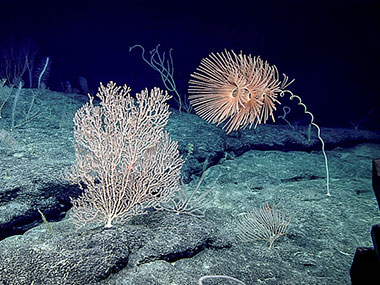 "Octocorals dominated the benthos at East ""Wetmore"" Seamount and included the stunning Iridogorgia and bamboo coral in the foreground."
