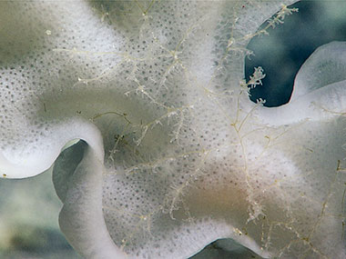 This Hexactinellid glass sponge was found at approximately 2,065 meters (~6,775 feet) with an associated undescribed species of Antipathes black coral.