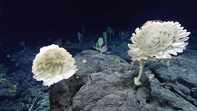 Farreid glass sponges are visible in the foreground of this fairly high-density sponge community found at about 2,360 meters (7,740 feet) depth. Corals were also present, but in lower abundance. Iridogorgia and bamboo coral are in the background.
