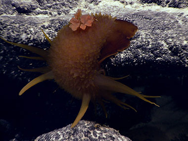 Probably the most unusual animal on today's dive was a large (10.0 centimeters in length) brown nudibranch in the genus Bathydoris.