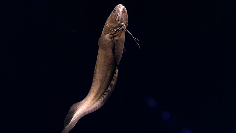 This cusk eel hung out above the seafloor at about 1,840 meters (6,035 feet) of depth in the glow of Deep Discoverer's lights.