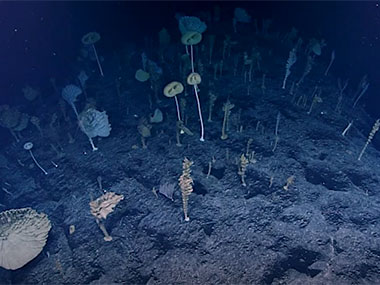 an alien-like community composed almost exclusively of glass sponges with their concave sides directed towards the current.