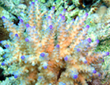 Left: Acropora cytherea is one of the major corals responsible for building the immense calcium carbonate substructure that supports the thin living skin of a reef. Right: Tightly packed branches and nariform (nose-shaped) corallites of Acropora nasuta resemble floral clusters.