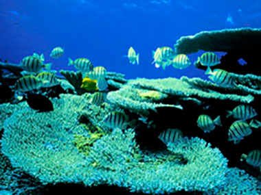 Convict tangs amidst a garden of coral heaven.