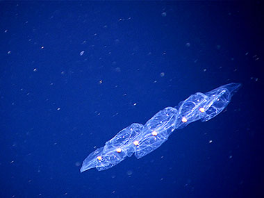 The rounded, pigmented guts of these salps are clearly visible in the individual salps in this chain.