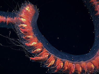 This intact deepwater siphonophore was observed during the Discovering the Deep: Exploring Remote Pacific Marine Protected Areas expedition.