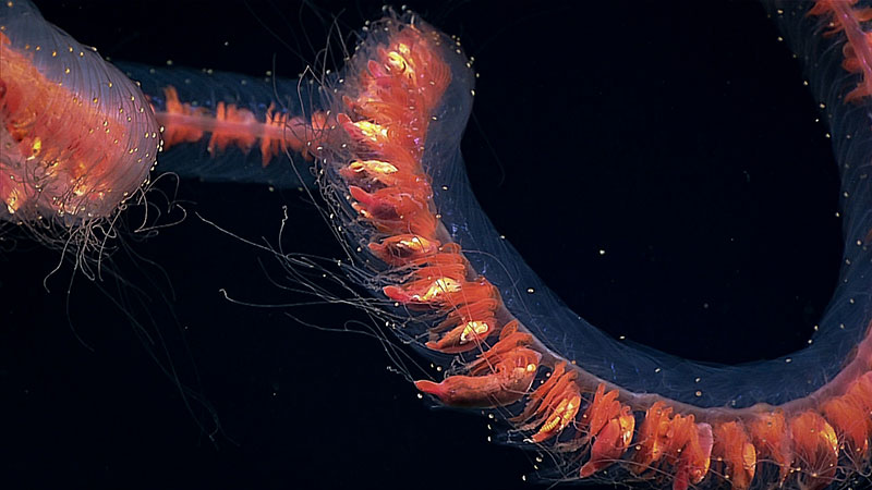 This intact deepwater siphonophore was observed during the Discovering the Deep: Exploring Remote Pacific Marine Protected Areas expedition. Although they may appear to be a single organism, these giant siphonophores are actually comprised of a colony of individual hydrozoans, each specialized for different functions such as swimming, feeding, and reproduction.