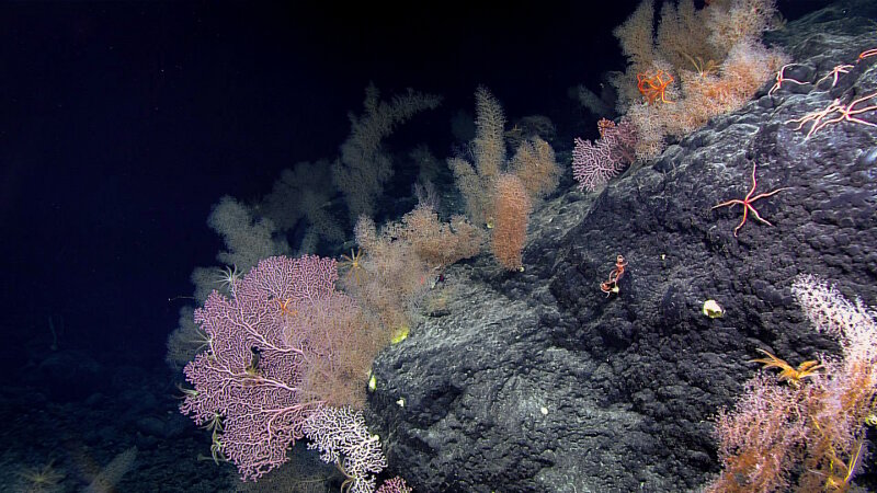 While exploring Sibelius Seamount, the team observed this garden of coral at a depth of 2,465 meters.