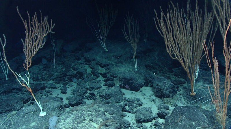 The coral community at Shostakovich Seamount was different than the ones observed on other dives.