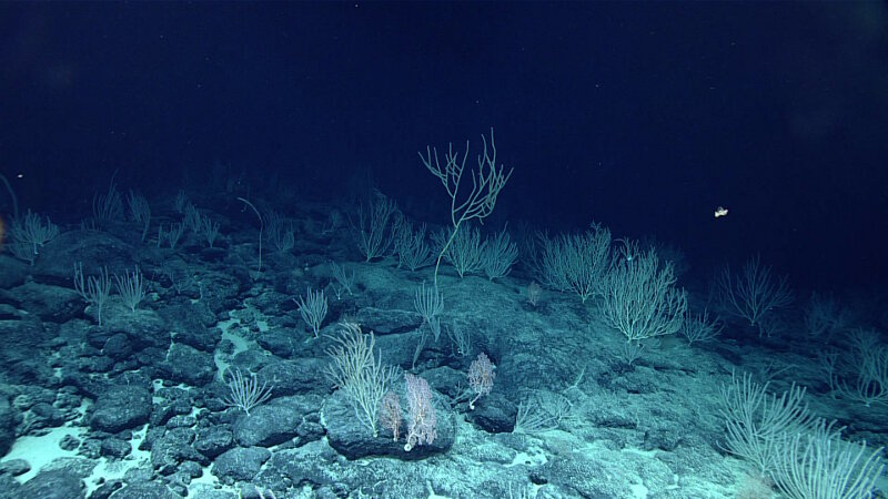 As the ROVs left the summit of Mussorgsky Seamount, coral continued in every direction as far as the light pool reached.