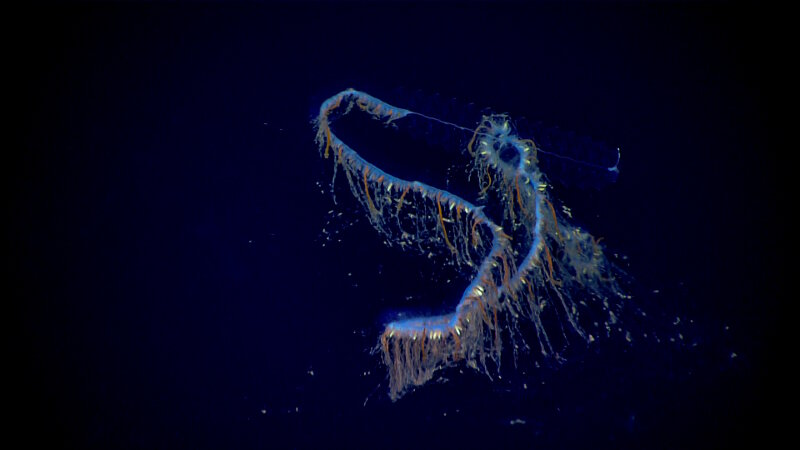 A siphonophore observed in the water column during the second full day of midwater exploration.