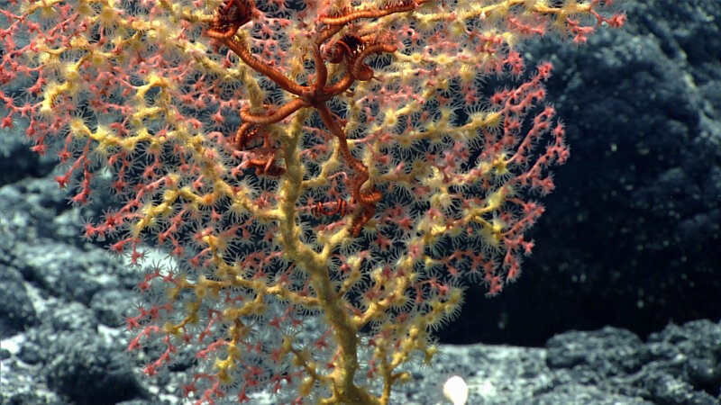 A zooanthid overgrows a pink bubblegum coral with a brittlestar associate.
