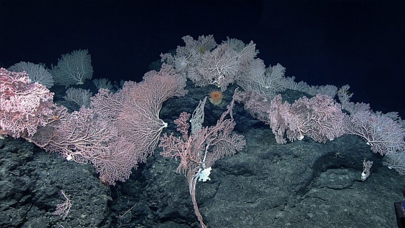 A dense pink coral garden was found at nearly 1,800 meters on Mendellsohn Seamount.