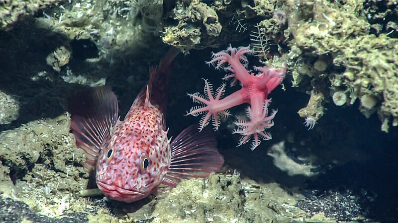 A scorpion fish, seen next to a mushroom coral, was observed at 460 meters (1,509 feet) depth.