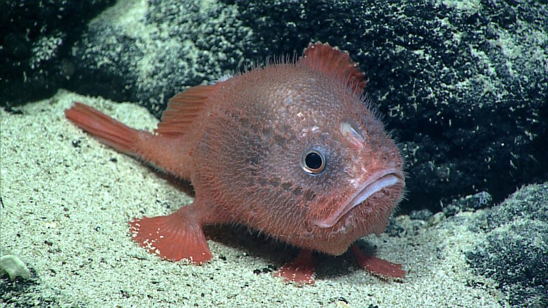 A Chaunacops coloratus photographed during an ROV Deep Discoverer dive at about 2,239 meters (7,346 feet) on a flat-topped seamount (guyot) west of Wake Atoll on August 6, 2016.