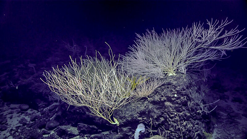 "Beautiful ""bamboo forest"" of Isididae coral on an outcrop at ""Tropic of Cancer"" Seamount."