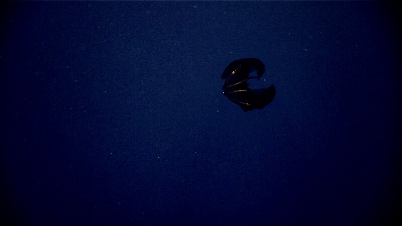 This dark red species of Lampocteis is a lobate ctenophore nicknamed the samurai helmet jelly.