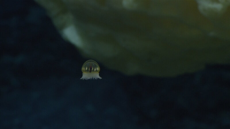"We have had several ""bonus"" observations of water column fauna, like this jellyfish at Sibelius Seamount."