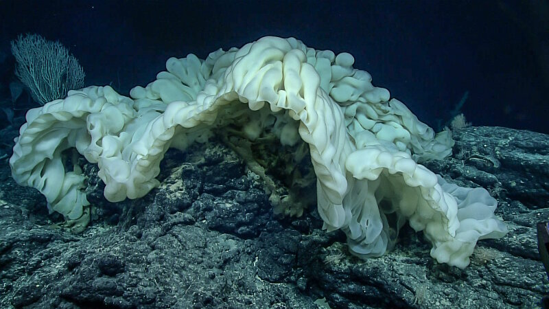 This new species of sponge has only ever been seen twice before in the Northwest Hawaiian Islands.