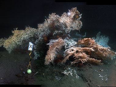 Madrepora oculata colony and with several deep-sea red crab Chaceon quinquedens.