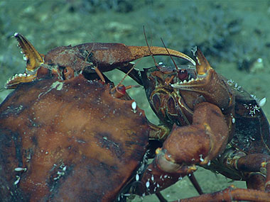 Two deep-sea male red crabs, Chaceon quinquedens, go claw-to-claw in an apparent duel for the affections of a nearby female.