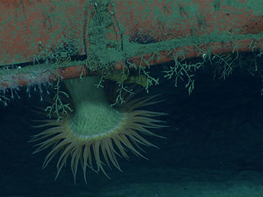 A hormathiid anemone and hydroids on the underside of the shipping container.