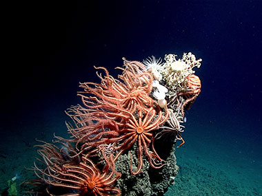 The top of a craggy pinnacle about two meters tall supports a dense community of orange, suspension-feeding, brisingid sea stars and, at the very top, a gorgonocephalid basket star.