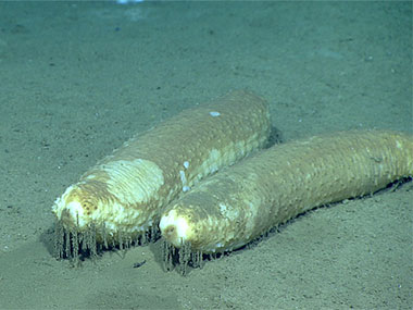 Paroriza pallens sea cucumbers were the most frequently encountered large deposit feeders on this dive.