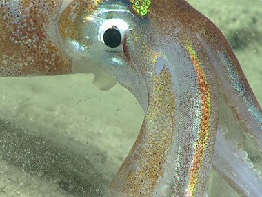 As with our first two dives, Illex sp. shortfin squid were observed during the dive, sometimes in large schools.