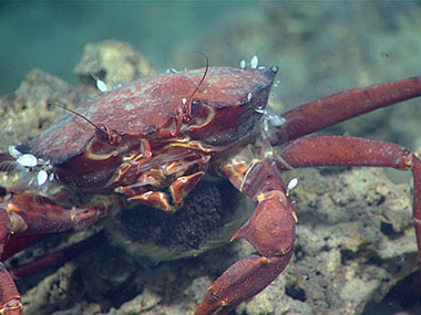 A red crab sits on a piece of carbonate near a methane seep. The crab is laden with eggs, which are visible on her underside.