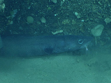 This congrid eel was observed eating a smaller fish.