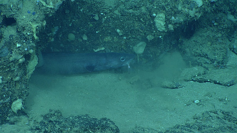 This congrid eel was observed eating a smaller fish. During the dive, we saw nearly 15 different species of fish.