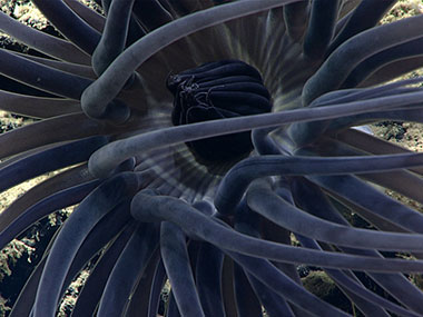 This cerianthid, a tube-dwelling anemone, is likely an unknown species.