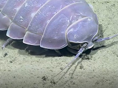 During the first dive of the expedition, we saw this giant deep-sea isopod, <em>Bathynomus giganteus</em>.