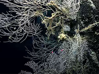 During Dive 02 of the expedition, after traversing an area with a lot of sediment and not a lot of life, the team came upon this canyon wall covered with glass sponges belonging to the family Euplectellidae, as well as many large coral colonies.