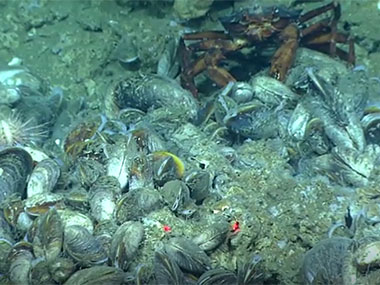 Methane bubbles emitted from the seafloor within this community of chemosynthetic mussels.