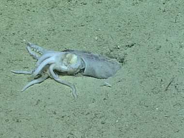 Many of the dead squid we observed during the dive appeared to have been pulled into burrows.