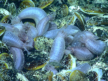 Sea cucumbers, Chiridota heheva, with chemosynthetic Bathymodiolus mussels, seen during Dive 08 of the expedition at a seep site identified via multibeam surveys conducted by NOAA Ship Okeanos Explorer the night before the dive.