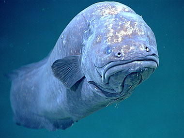 A particularly grumpy-looking ophidiiform cusk eel encountered at a depth of 1,585 meters (5,200 feet) during Dive 12